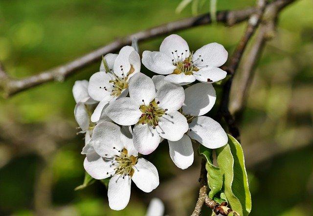 les magnifiques fleurs du poirier